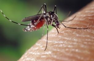 Halte aux moustiques tigre